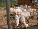 ヤギが大量